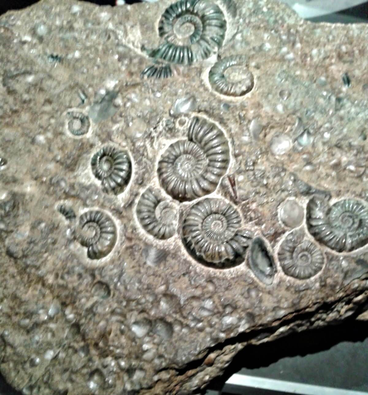 museums to visit in Cardiff - ammonite fossils