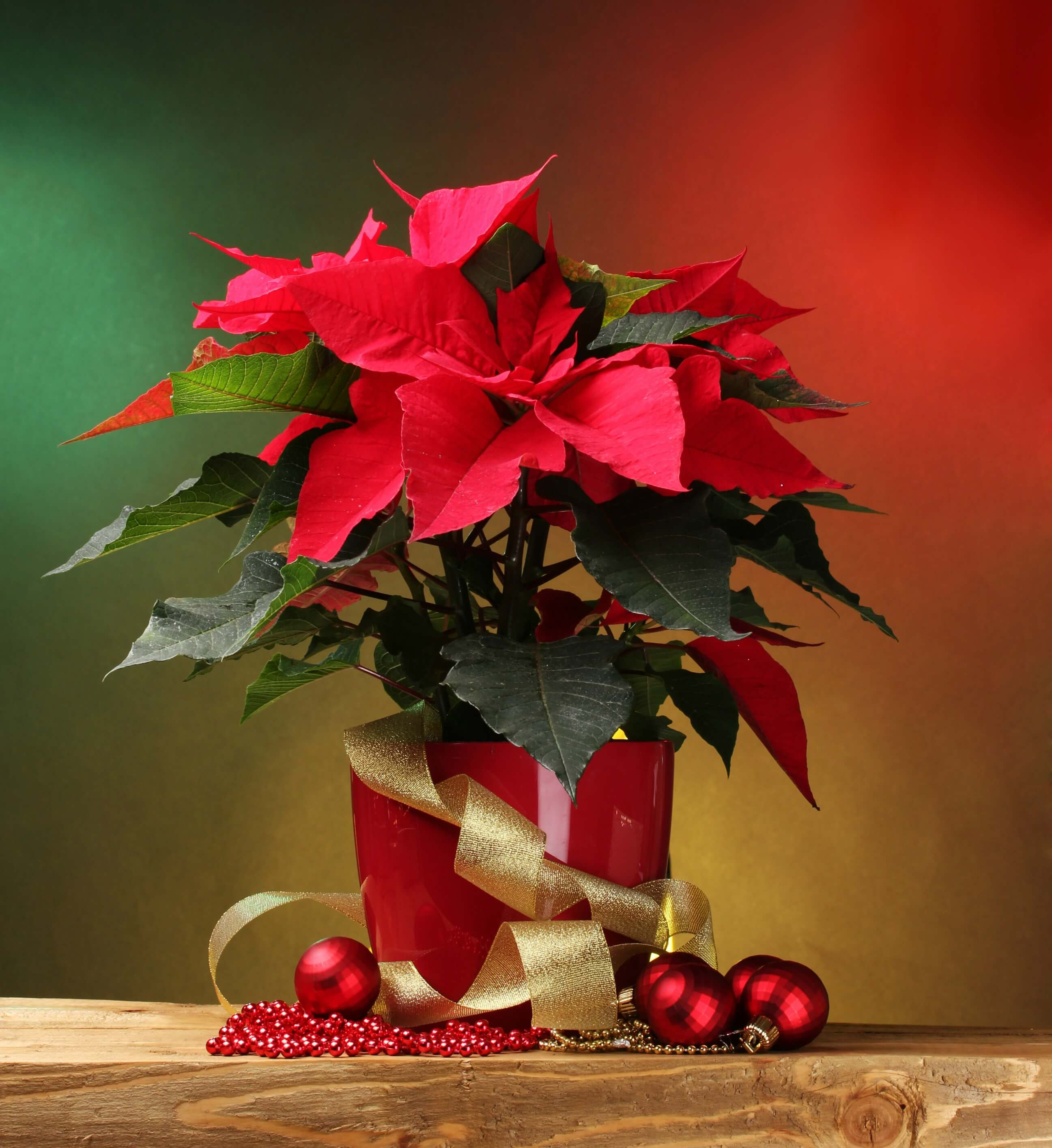 Poinsettia care - beautiful red poinsettia plant