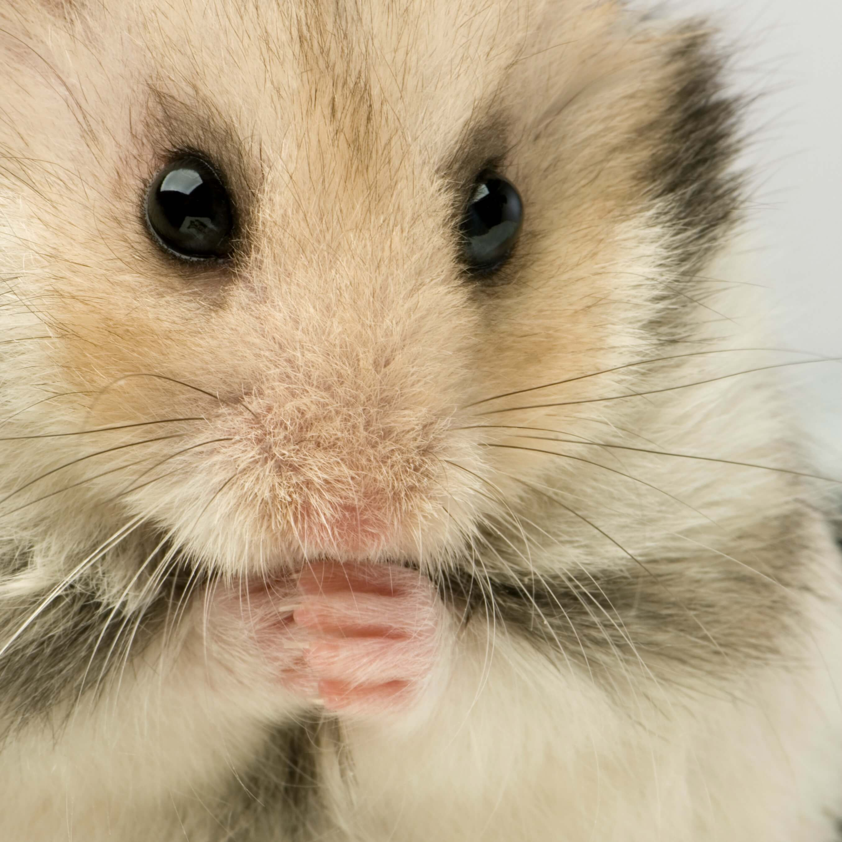 keep your home clean with pets - close up of hamster