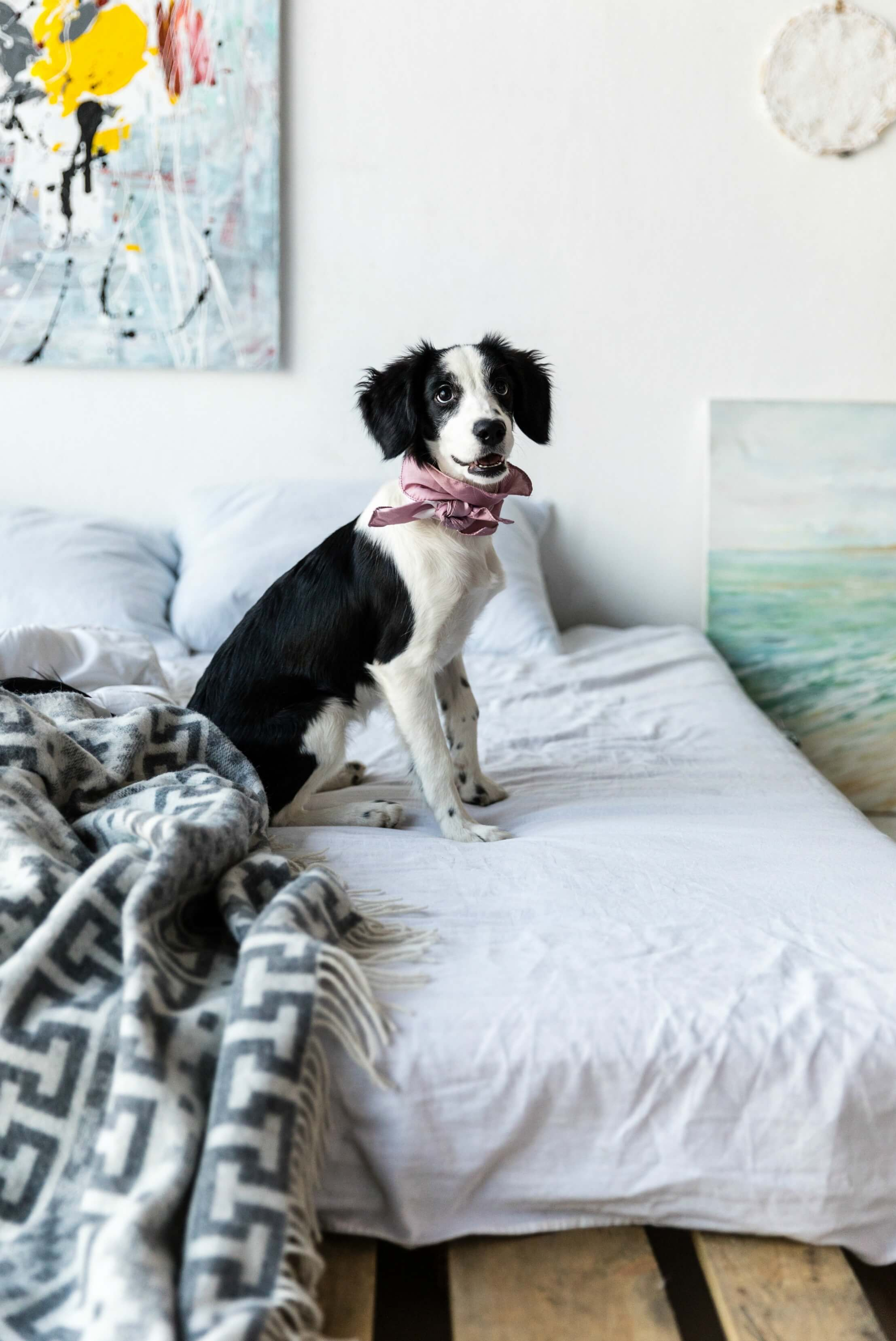 keep your house clean with pets - cute black and white dog wearing a pink scarf on a bed