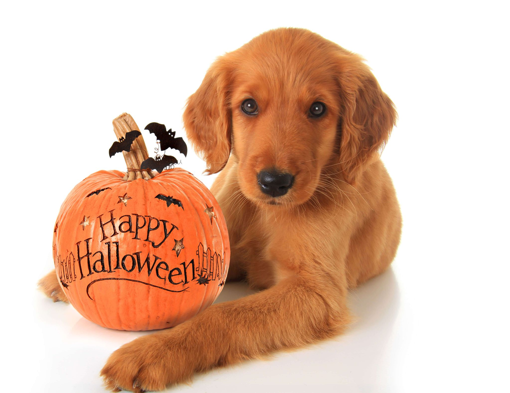 pet anxiety - labrador puppy with a happy halloween ornament