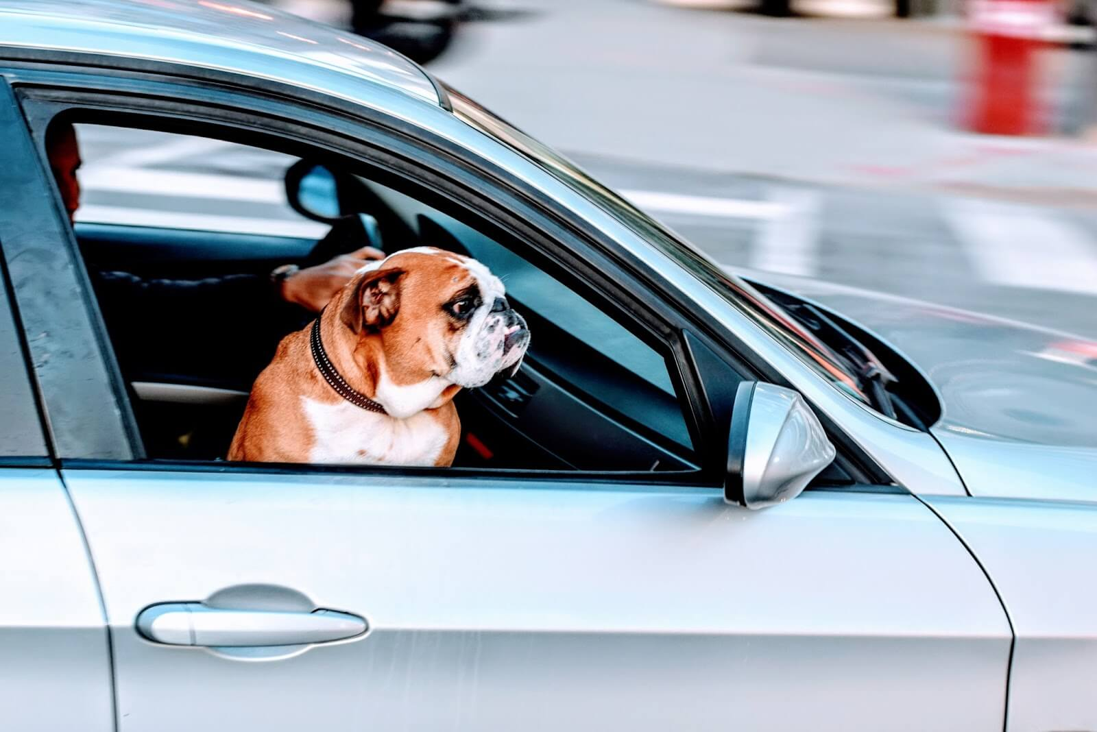 help your dog cope with the heat - boxer dog at the open window of a moving car