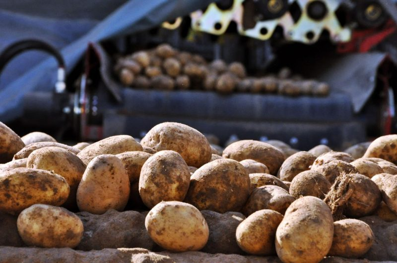Mound of potatoes being sorted