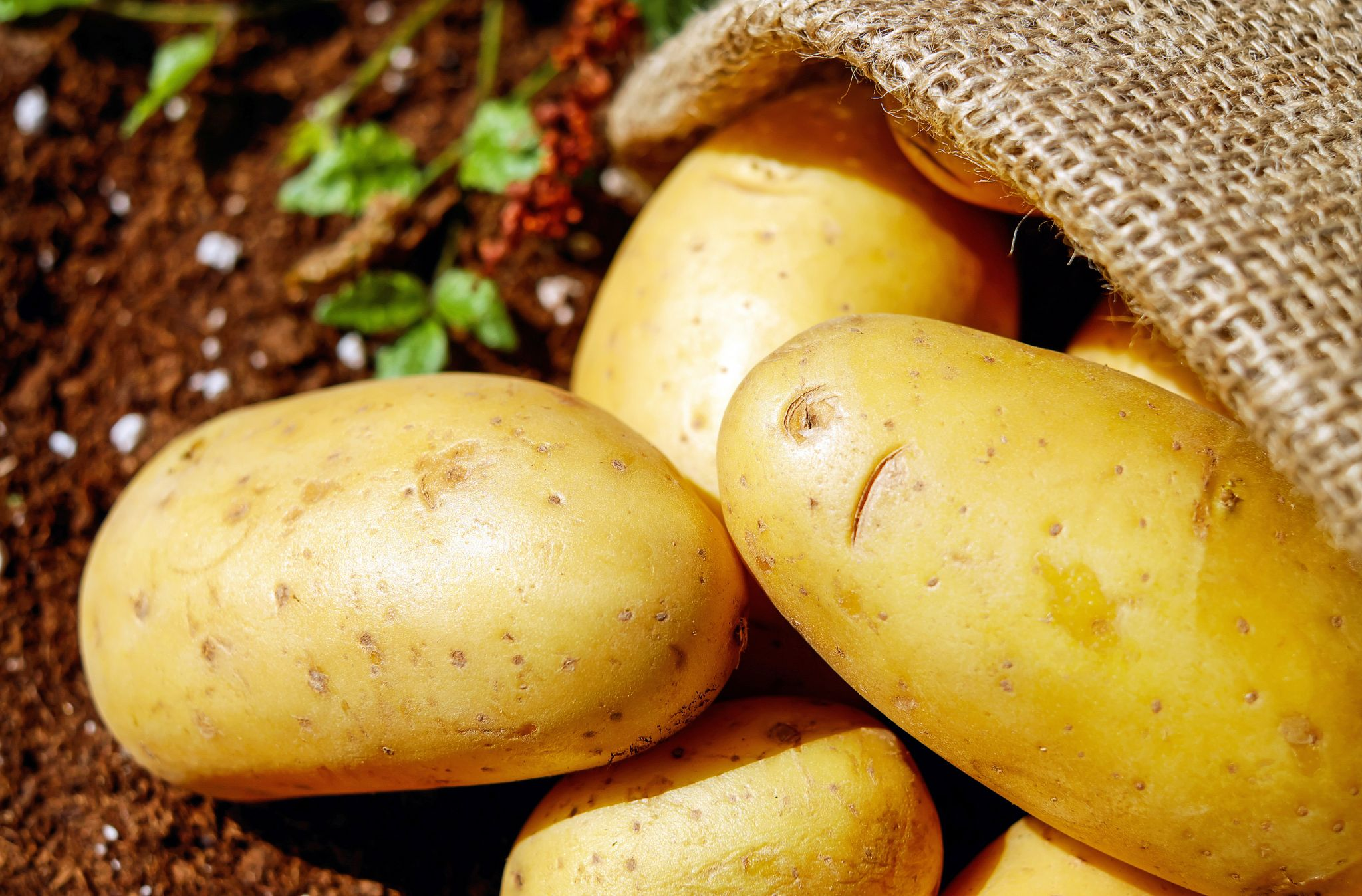Newly picked potatoes in a bag