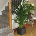Large Areca Palm Tree