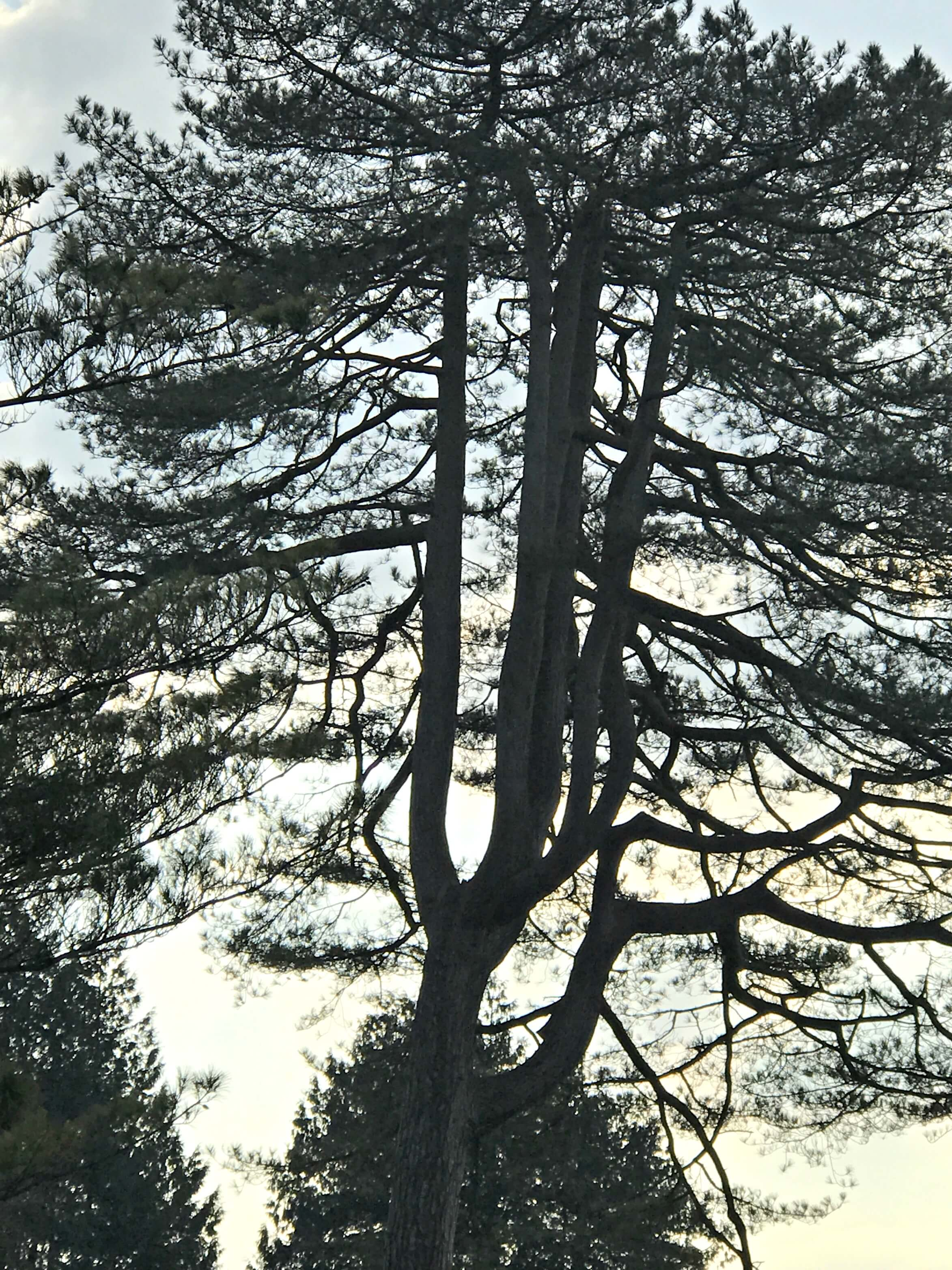 Tree at Dyffryn Gardens
