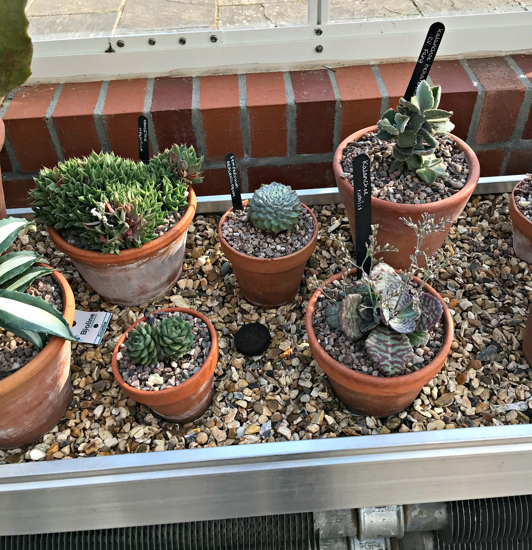 Cacti in Dyffryn Gardens Glasshouse